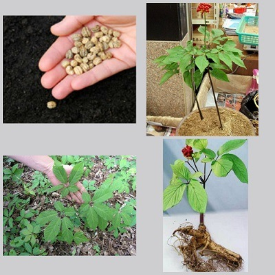 cultivo de raiz de ginseng