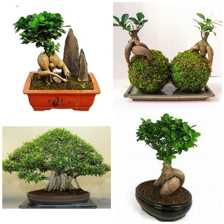 ficus ginseng gu a y cuidados de esta planta bonsai 2018. Black Bedroom Furniture Sets. Home Design Ideas